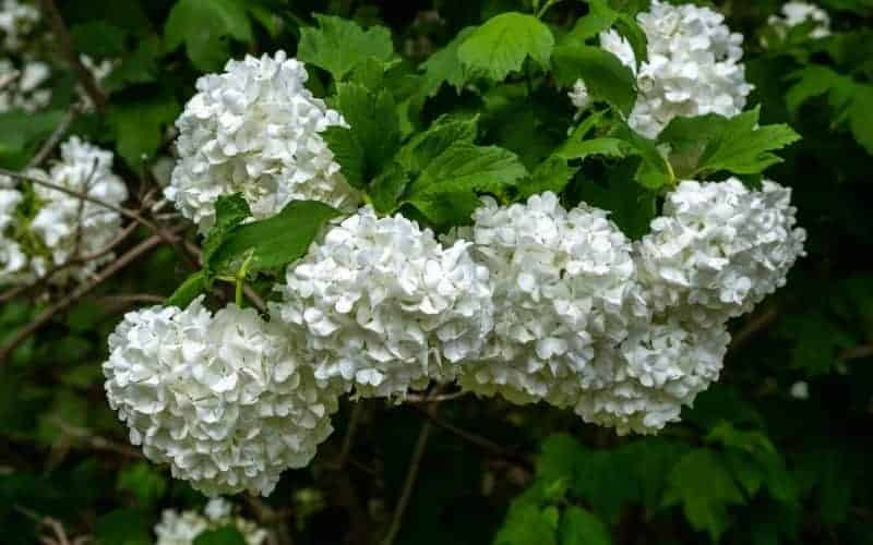types of snowball bushes