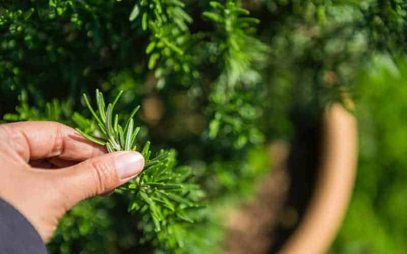How To Harvest Rosemary Without Killing The Plant