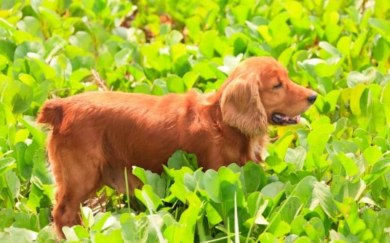 Is Blue Star Creeper Poisonous to Dogs