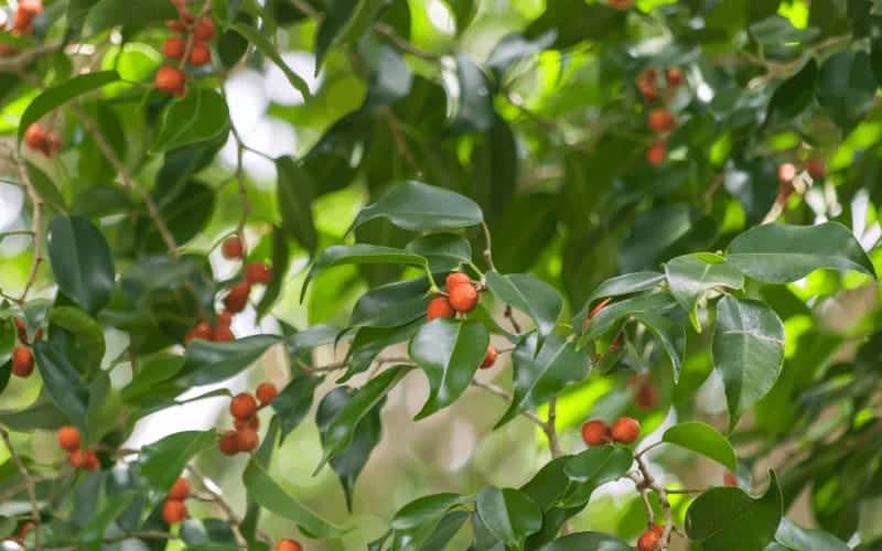 Why Your Ficus Tree Is Dying