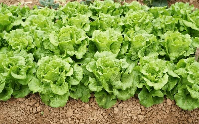 Is Lettuce Man Made