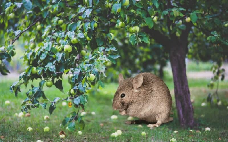 How to Protect Fruit Trees from Rodents