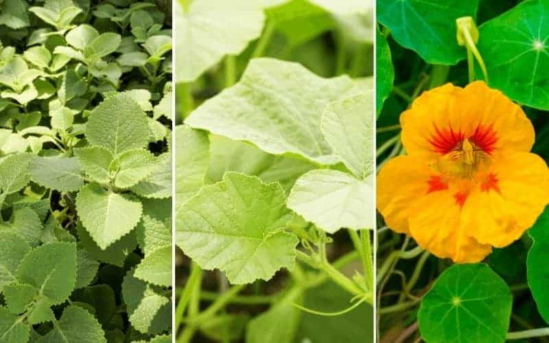 Winter Squash Companion Plants
