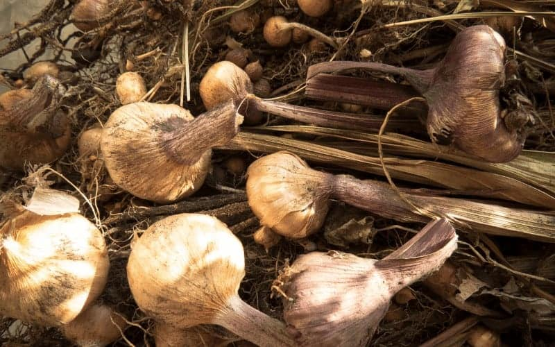 How to Preserve Gladiolus Corm