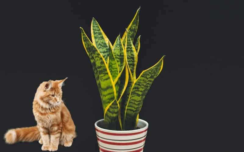 Is Snake Plant Poisonous for Cats