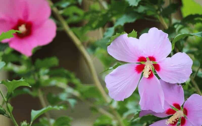 What Can Spider Mites Do to Hibiscus Plant
