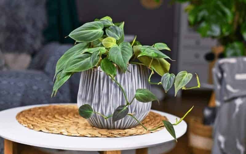 How To Grow Philodendron Hederaceum