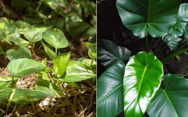 difference between brazil pothos and philodendron