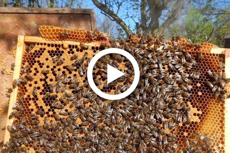 جني عسل النحل
