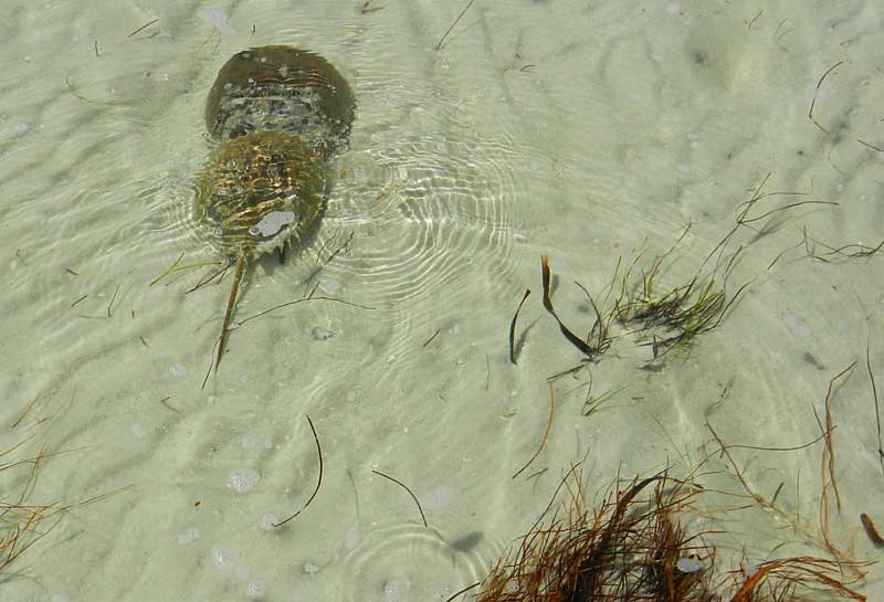 Horseshoe crabs mating in the shallows at Caladesi Island State Park. (Photo: David Blasco)