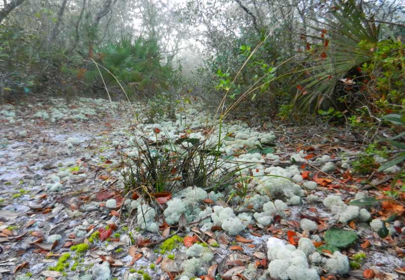 Deer moss on a foggy morning created a fairyland setting at Silver Springs State Park. (Photo: Bonnie Gross)