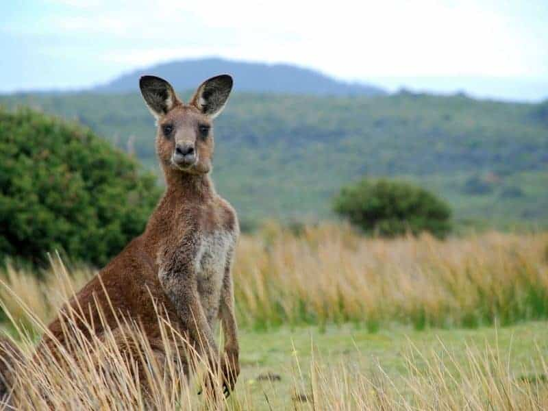 A red kangaroo at Bredl's Wild Farm in the Whitsunday region
