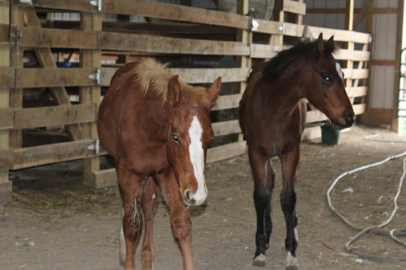 Dreamchaser adopted six orphaned foals from International Society for the Protection of Mustangs and Burros.