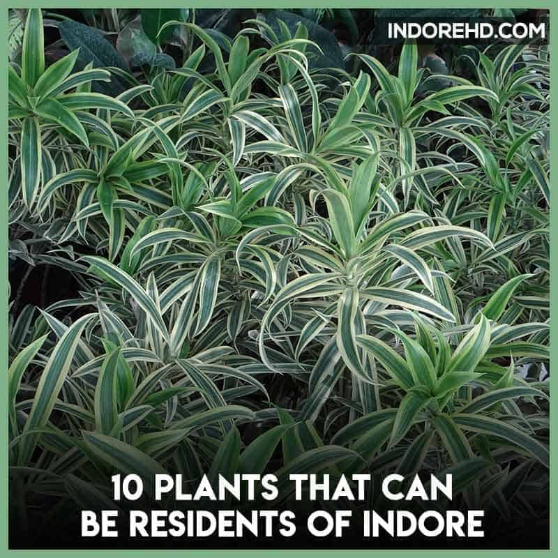 song-of-india-plants-grow-indoor-indore-climate-indorehd-indore