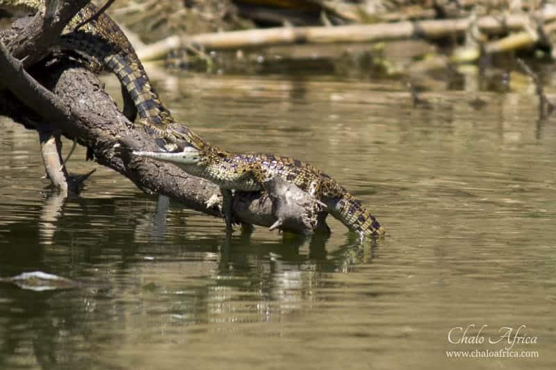 Baby Nile Crocodile, Kazinga Channel, Uganda