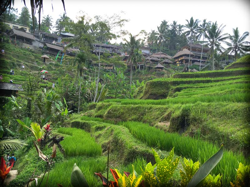 A view of Tegallalang Rice Terraces near Ubud, with rice terraces in the foreground, and restaurants in the background. One of the Bali facts that visitors may not know is that a lot of Balinese are still farmers.
