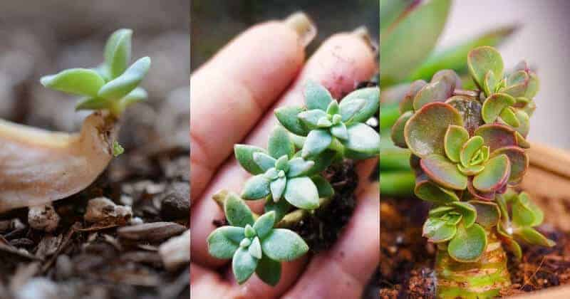 Propagating Succulents From Leaves And Stem Cuttings