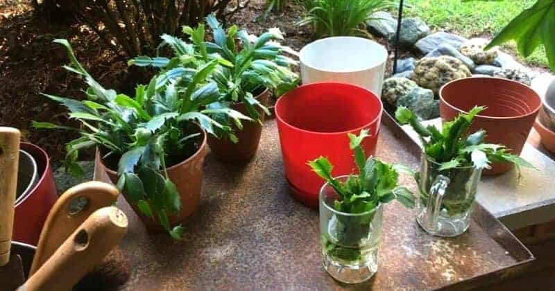 Potting Soil For Christmas Cactus.Repotting Christmas Cactus When How To Transplant