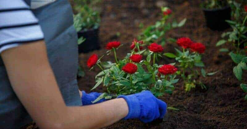 The Trick Of Knowing When Is The Best Time To Plant Roses