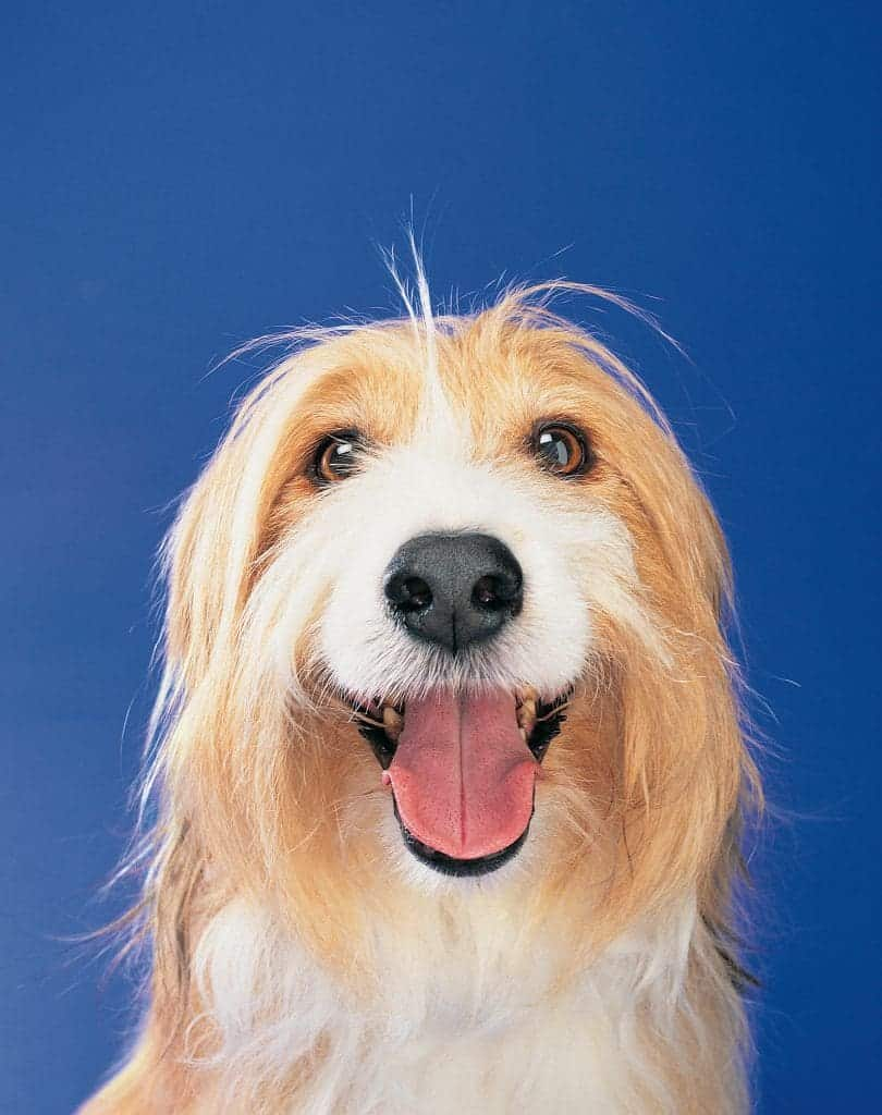 Any dog can develop diabetic ketoacidosis