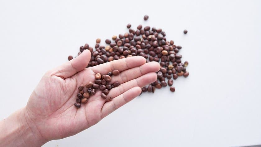 Middle Eastern dried fava beans are smaller than western ones and are reddish-brown in color