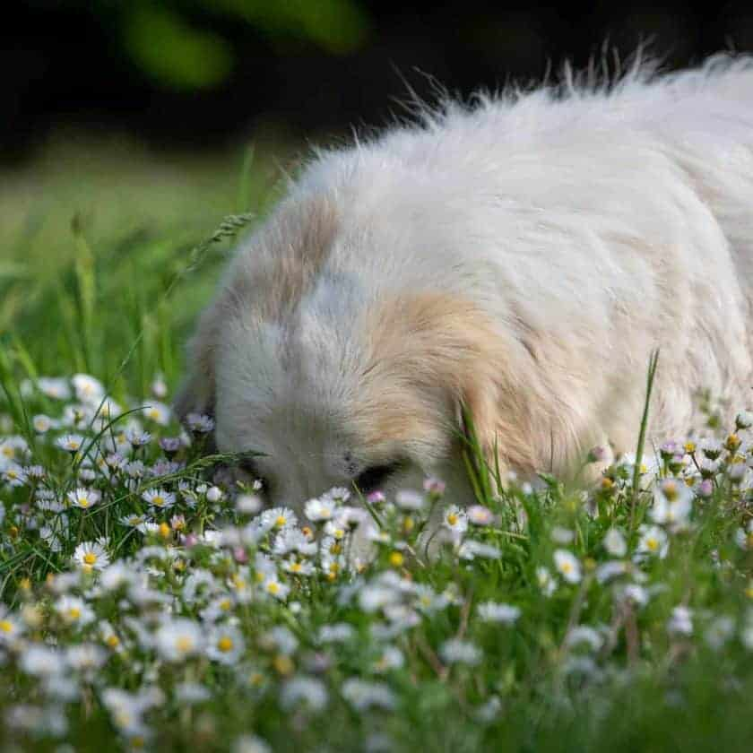 Why does my dog eat grass then throw up?