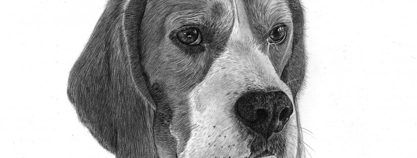 Pencil Drawing of Beagle