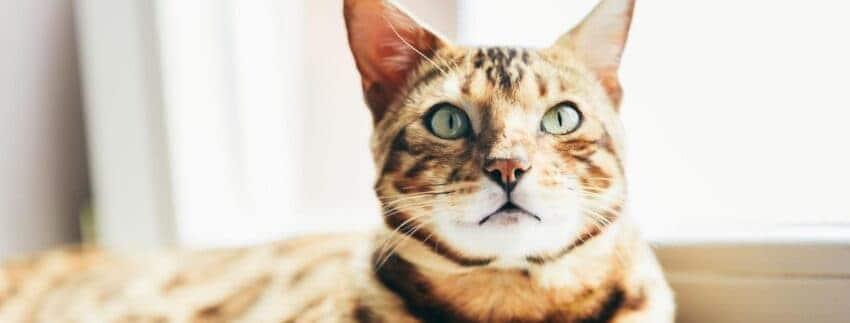 The Bengal Cat Wild Or Mild Life Cats