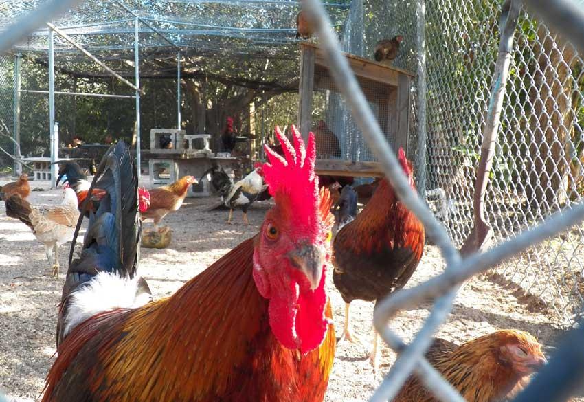 Key west chicken at Key West Wildlife Center