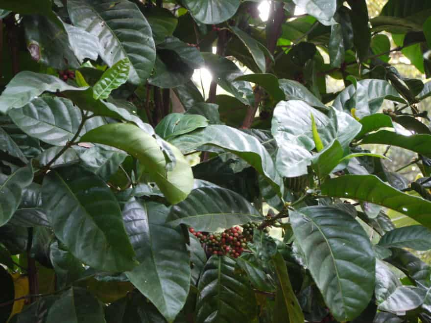 The Coffea Liberica tree grows up to 9 meters in height.