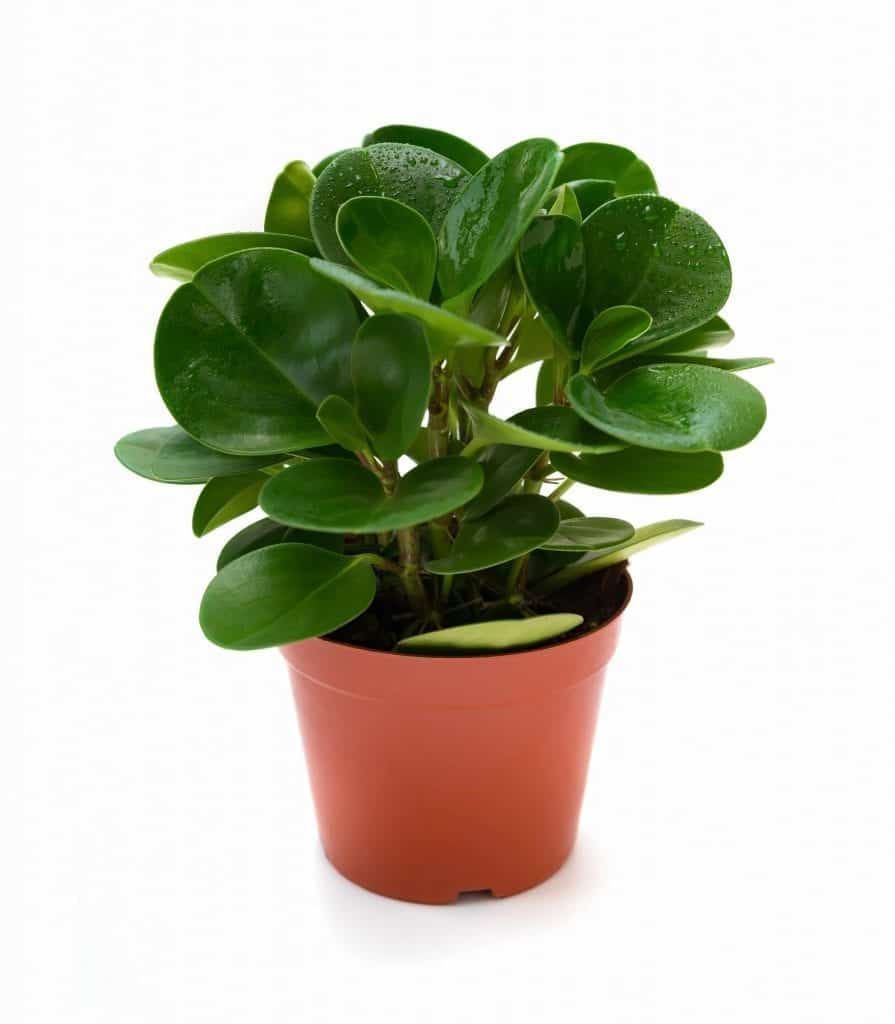 plants aid sleep pot of green ficus elastica on white background