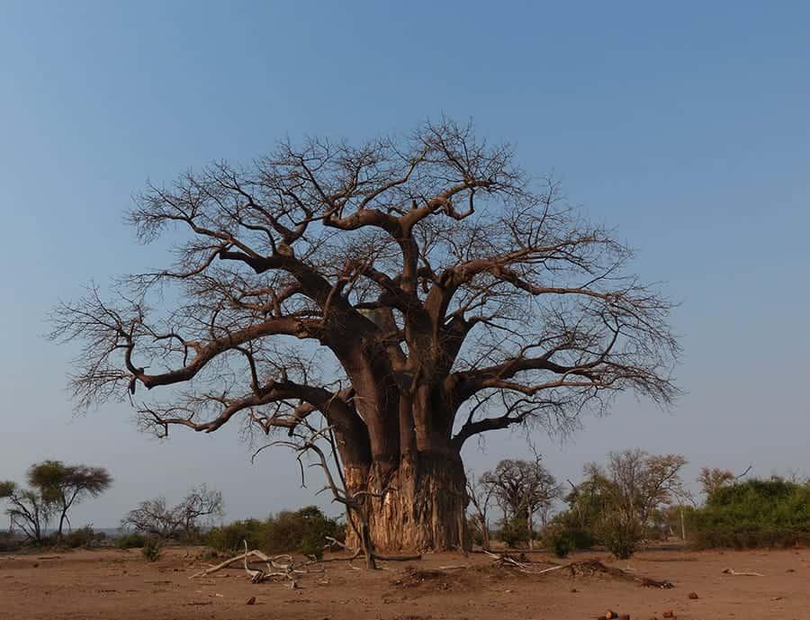 Baobab in Gonarezhou