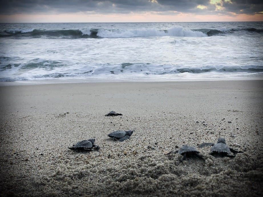 Baby turtles crawling on the sand to the ocean during a turtle release in Puerto Escondido, Mexico