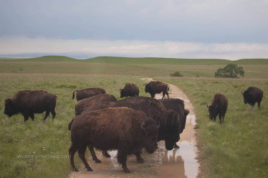 Bison at the Tallgrass Prairie National Preserve