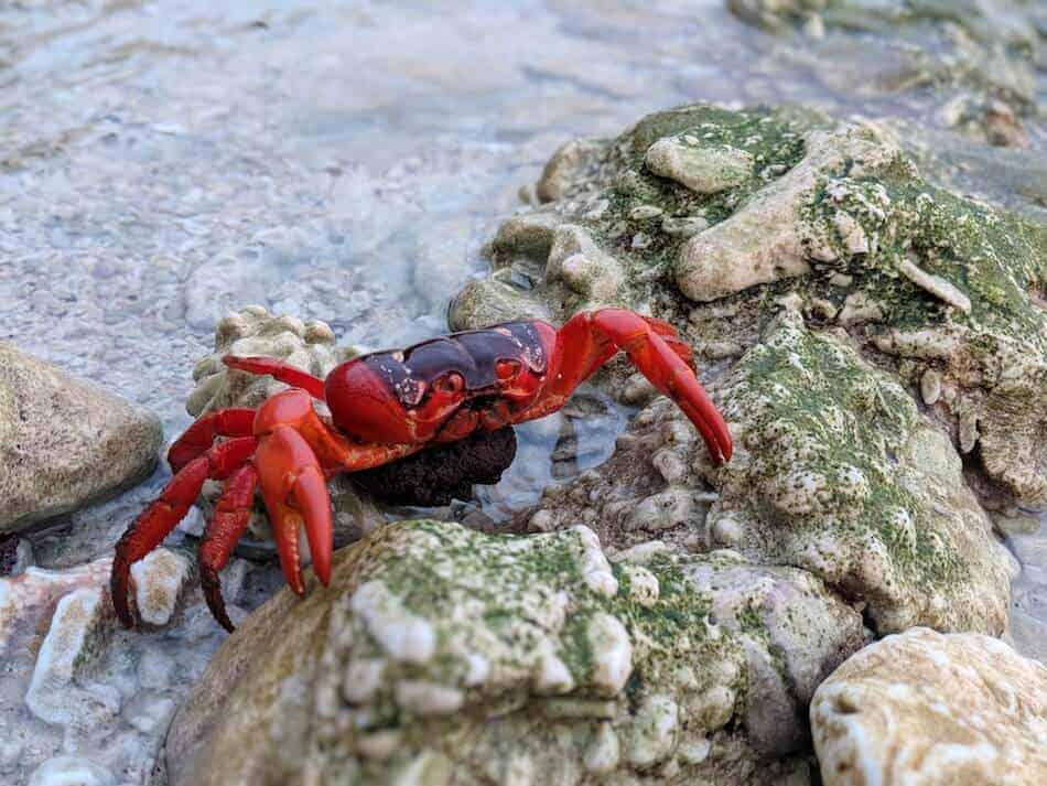 Christmas Island Red Crab with Eggs