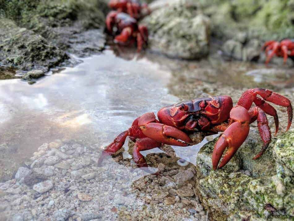 Christmas island Red Crab Migration - Red Crab taking a dip