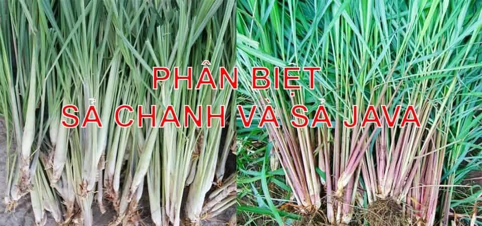 phan-biet-sa-chanh-va-sa-java-bjsc.vn