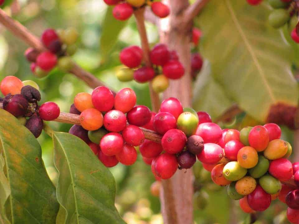 Coffea arabica on the bush