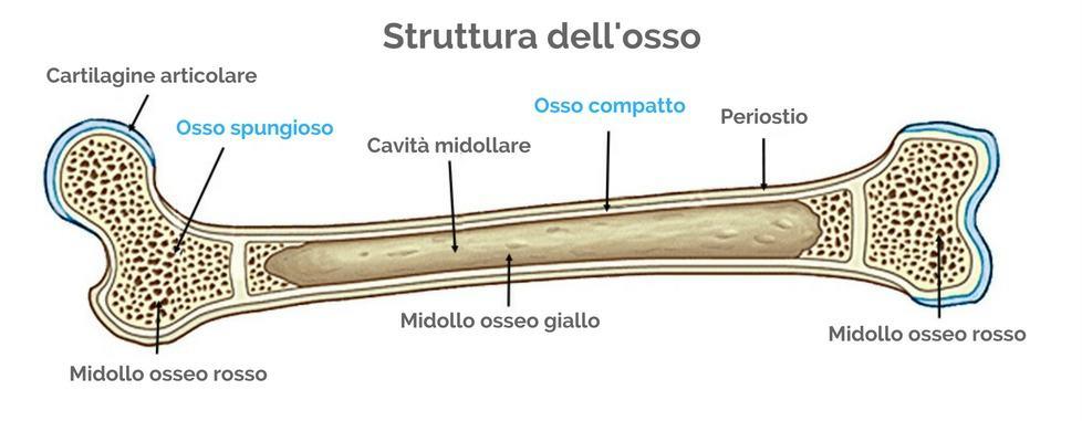 Osteoporosi struttura dell'osso