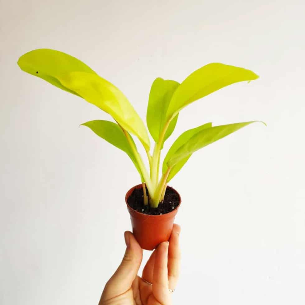 filodendron malay gold philodendron mini