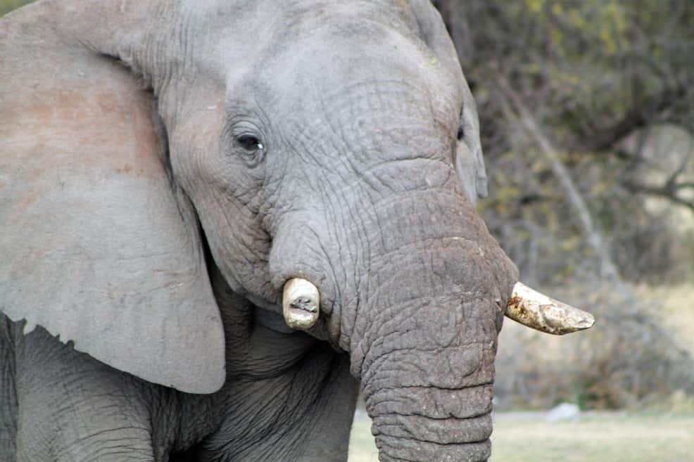 African elephant, Madikwe Game Reserve. Photo: flowcomm, CC BY 2.0