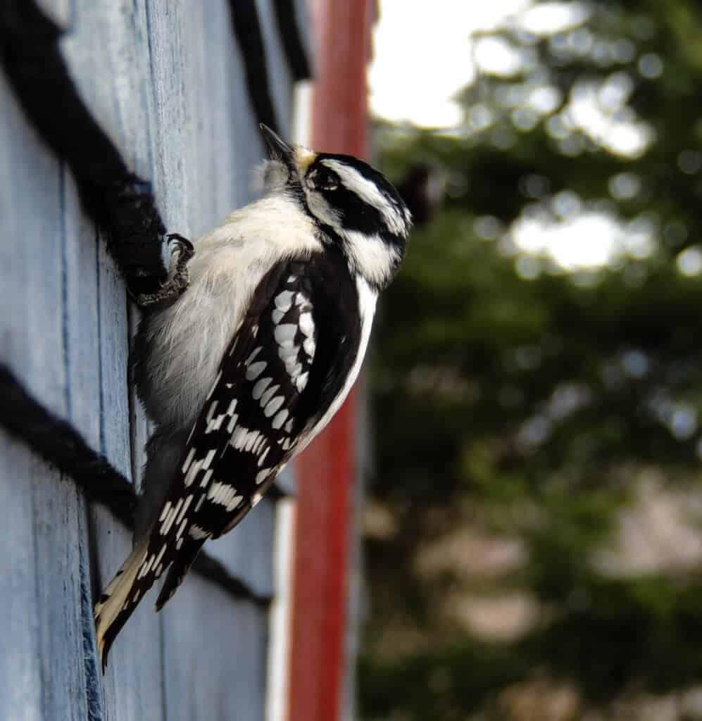A downy woodpecker on the side of a blue house
