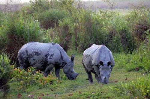 Rhino Watch at Chapramari