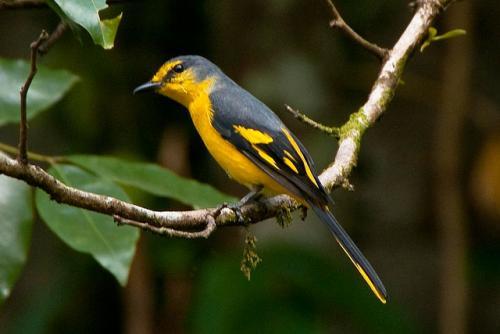 Scarlet Minivet - Chukchuki Watchtower or Chukchuki Birding Point