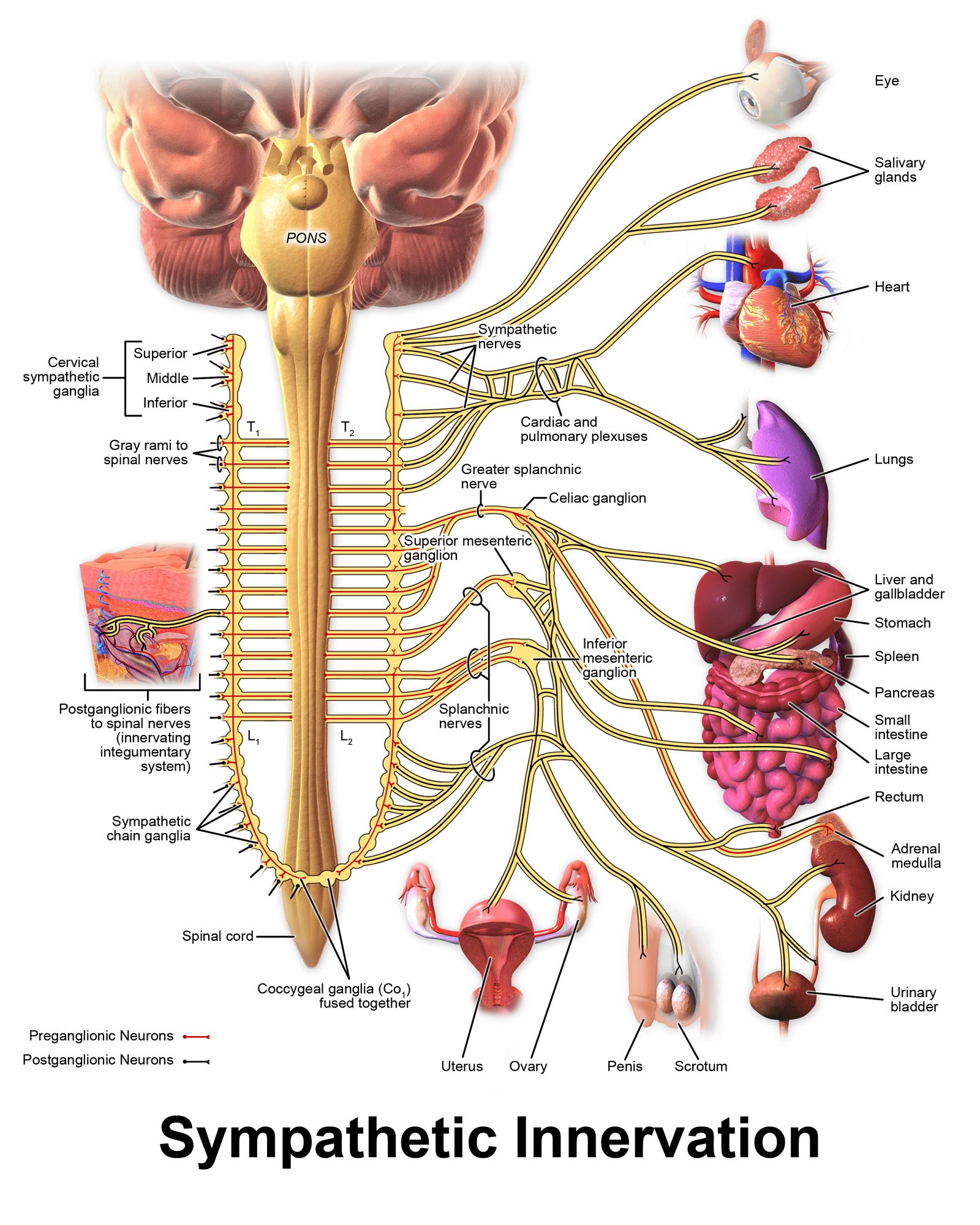 מערכת עצבים סימפטתית