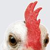 5 סיבות לא לאכול עוף