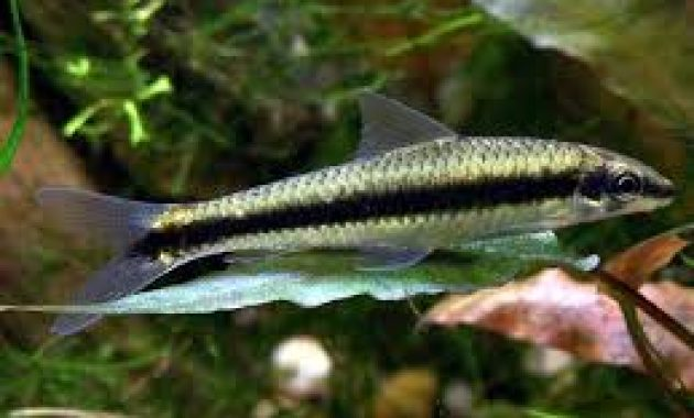The Best Fish Algae Eaters in Freshwater Aquarium: Siamese Algae Eater (SAE)