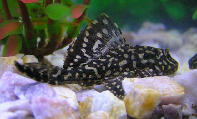 Tropical Fish for Freshwater Aquariums: Pleco Fish