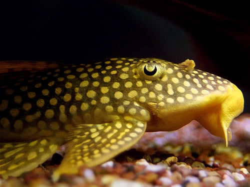 Algae Eaters Facts And Information: Sunshine Pleco