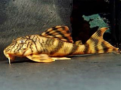 Different Types Of Plecostomus Fish – Rio Negro Pleco Fish